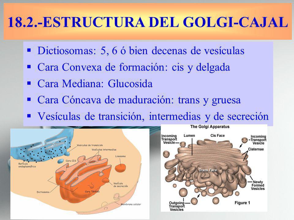 Dictiosomas: 5, 6 ó bien decenas de vesículas Cara Convexa de formación: cis y delgada Cara Mediana: Glucosida Cara Cóncava de maduración: trans y gruesa Vesículas de transición, intermedias y de secreción 18.2.-ESTRUCTURA DEL GOLGI-CAJAL