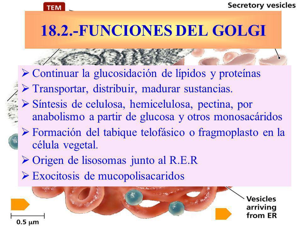 Continuar la glucosidación de lípidos y proteínas Transportar, distribuir, madurar sustancias. Síntesis de celulosa, hemicelulosa, pectina, por anabol