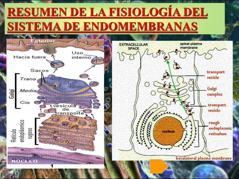 RESUMEN DE LA FISIOLOGÍA DEL SISTEMA DE ENDOMEMBRANAS RESUMEN DE LA FISIOLOGÍA DEL SISTEMA DE ENDOMEMBRANAS