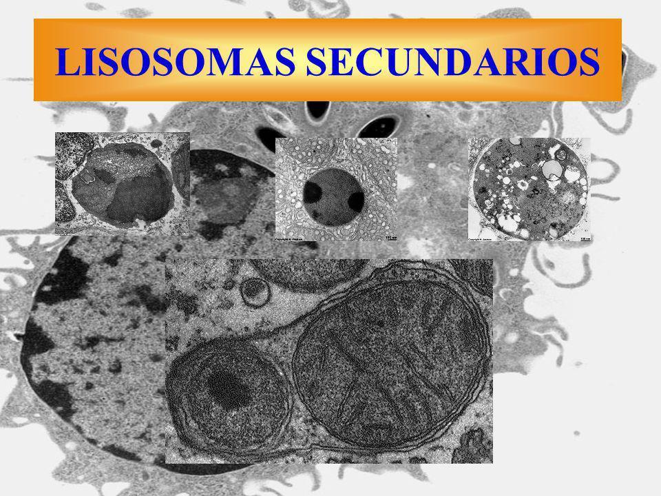 Macrófago fagocitando Listeria LISOSOMAS SECUNDARIOS