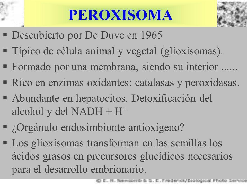 PEROXISOMA Descubierto por De Duve en 1965 Típico de célula animal y vegetal (glioxisomas). Formado por una membrana, siendo su interior...... Rico en