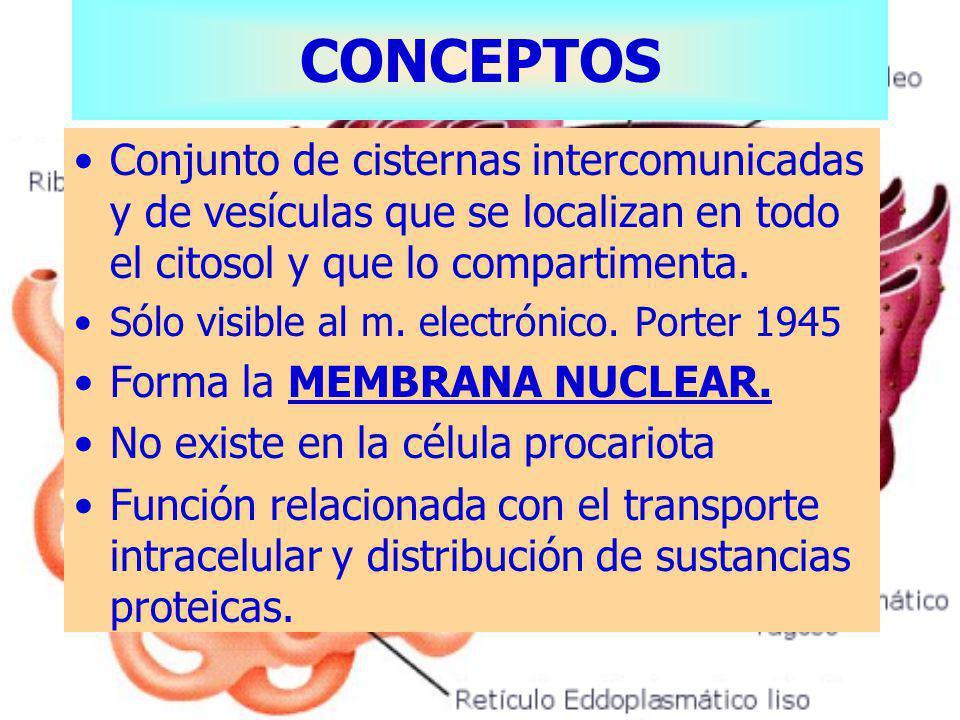 CONCEPTOS Conjunto de cisternas intercomunicadas y de vesículas que se localizan en todo el citosol y que lo compartimenta.