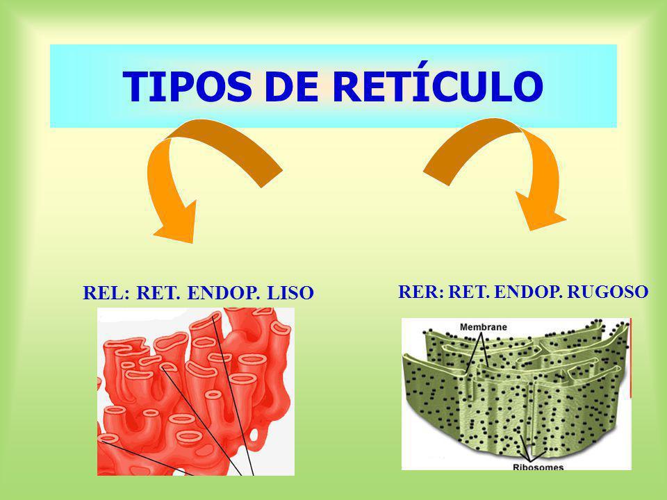 TIPOS DE RETÍCULO REL: RET. ENDOP. LISO RER: RET. ENDOP. RUGOSO