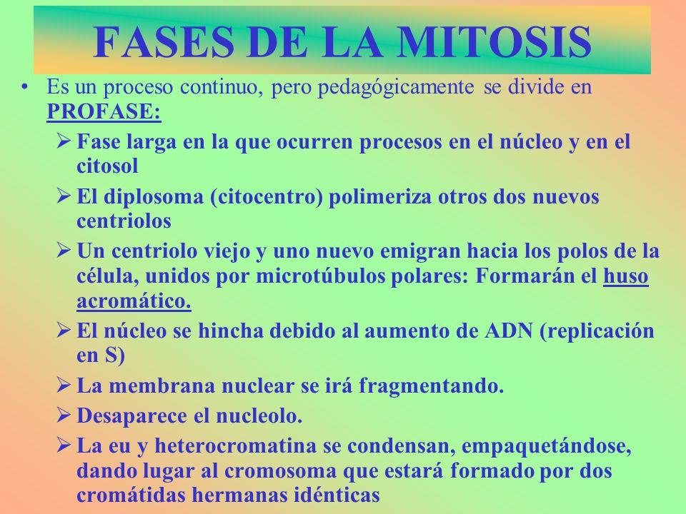 FASES DE LA MITOSIS Es un proceso continuo, pero pedagógicamente se divide en PROFASE: Fase larga en la que ocurren procesos en el núcleo y en el cito