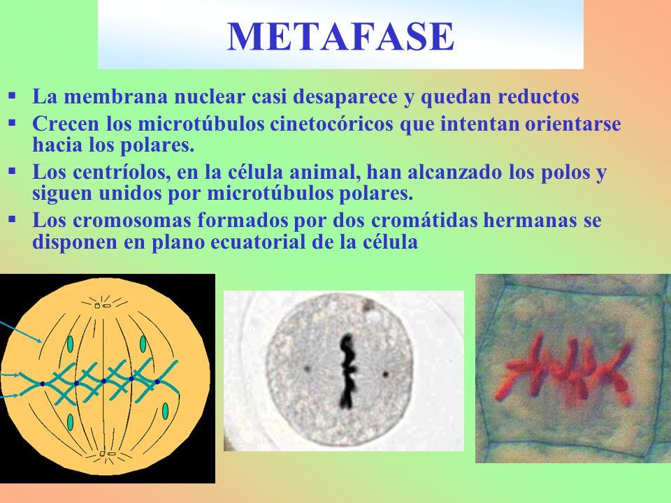 La membrana nuclear casi desaparece y quedan reductos Crecen los microtúbulos cinetocóricos que intentan orientarse hacia los polares. Los centríolos,