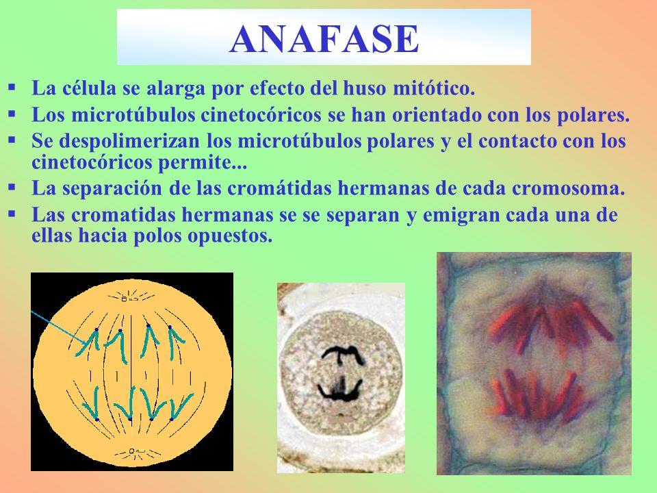 La célula se alarga por efecto del huso mitótico. Los microtúbulos cinetocóricos se han orientado con los polares. Se despolimerizan los microtúbulos