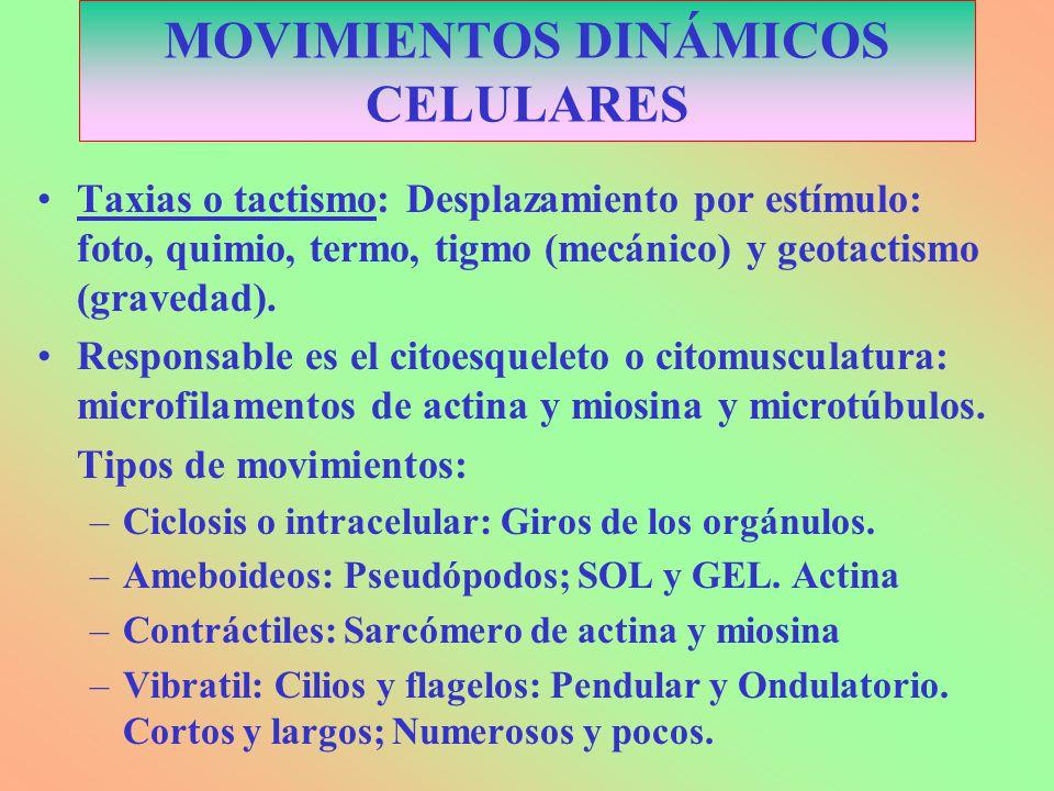MOVIMIENTOS DINÁMICOS CELULARES Taxias o tactismo: Desplazamiento por estímulo: foto, quimio, termo, tigmo (mecánico) y geotactismo (gravedad). Respon