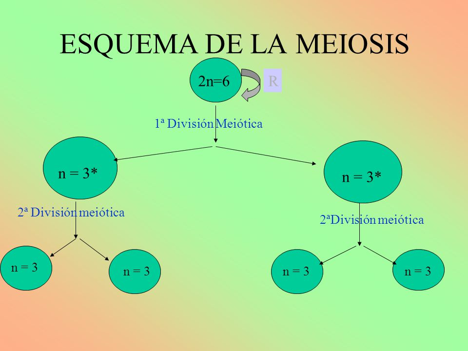 ESQUEMA DE LA MEIOSIS 2n=6 n = 3* n 2 =6 1ª División Meiótica R 2ªDivisión meiótica n = 3 n = 3*