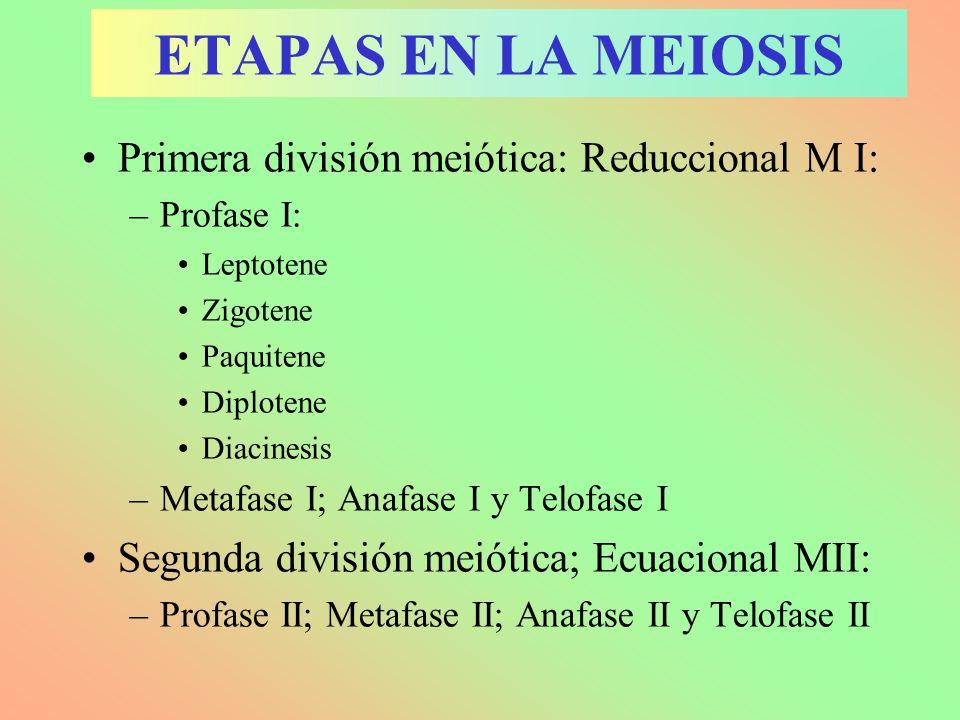 ETAPAS EN LA MEIOSIS Primera división meiótica: Reduccional M I: –Profase I: Leptotene Zigotene Paquitene Diplotene Diacinesis –Metafase I; Anafase I