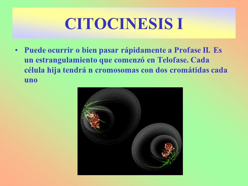 Puede ocurrir o bien pasar rápidamente a Profase II. Es un estrangulamiento que comenzó en Telofase. Cada célula hija tendrá n cromosomas con dos crom