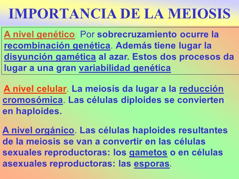 A nivel genético: Por sobrecruzamiento ocurre la recombinación genética. Además tiene lugar la disyunción gamética al azar. Estos dos procesos da luga