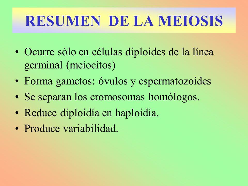 Ocurre sólo en células diploides de la línea germinal (meiocitos) Forma gametos: óvulos y espermatozoides Se separan los cromosomas homólogos. Reduce
