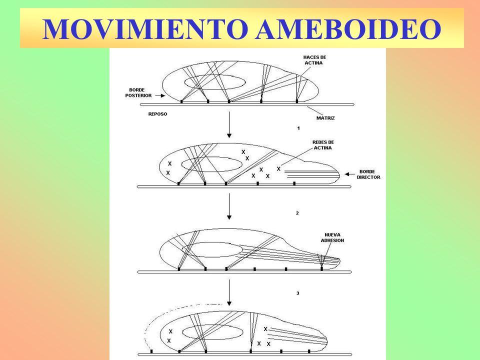 Los cromosomas aparecen más cortos y comienzan a aparearse las parejas de homólogos: BIVALENTES Ya ha desaparecido nucleolo y membrana nuclear.