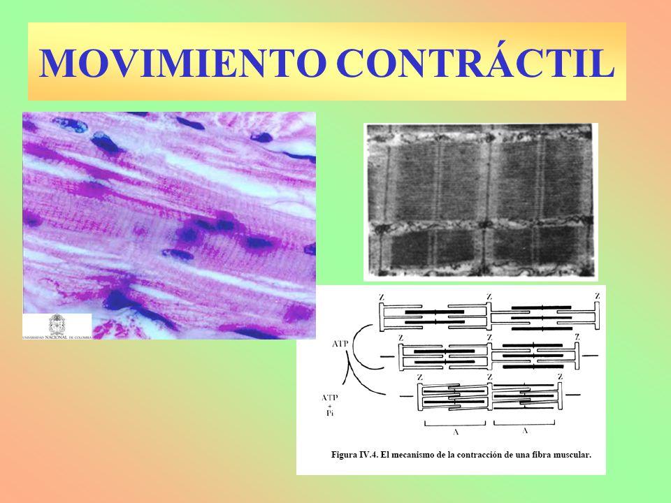 Los BIVALENTES comienzan el sobrecruzamiento Complejo sinaptonémico.