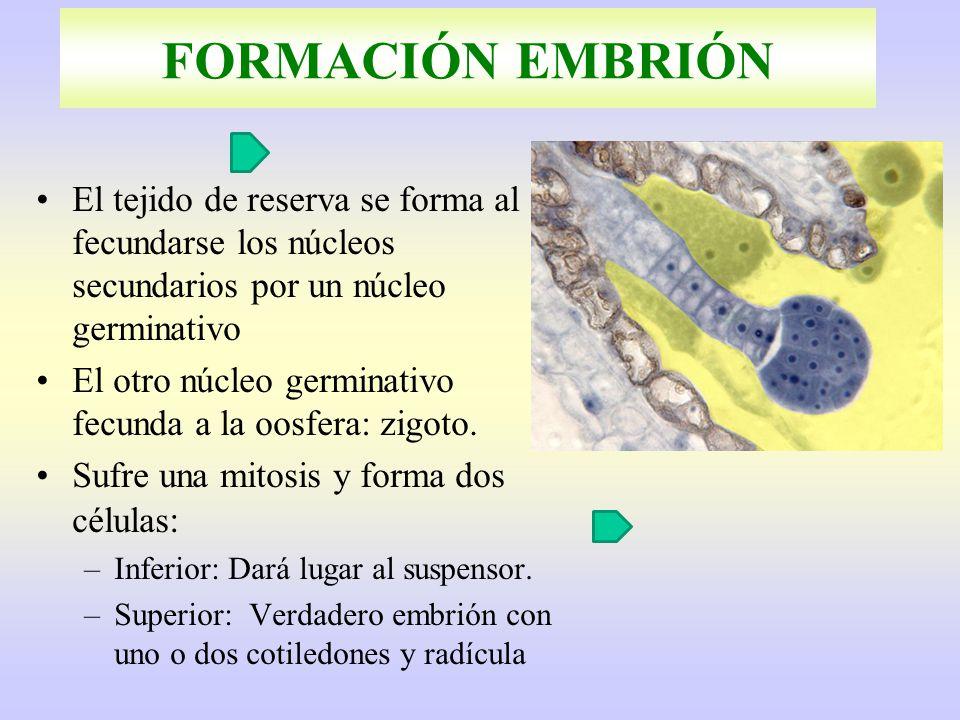 FORMACIÓN EMBRIÓN El tejido de reserva se forma al fecundarse los núcleos secundarios por un núcleo germinativo El otro núcleo germinativo fecunda a l