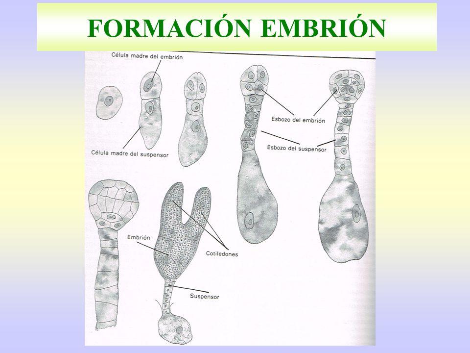FORMACIÓN EMBRIÓN
