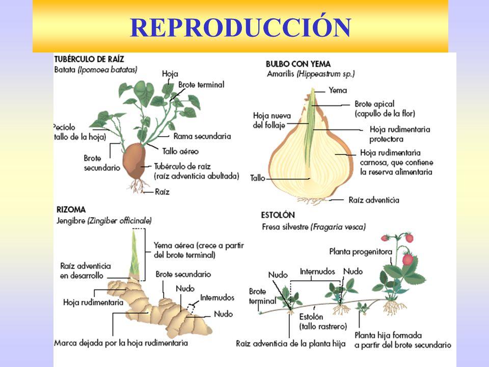 1841 Jardines Kew de Londres Formación de semillas sin fecundación Organismos clónicos de óvulos Todos hembras ¿.