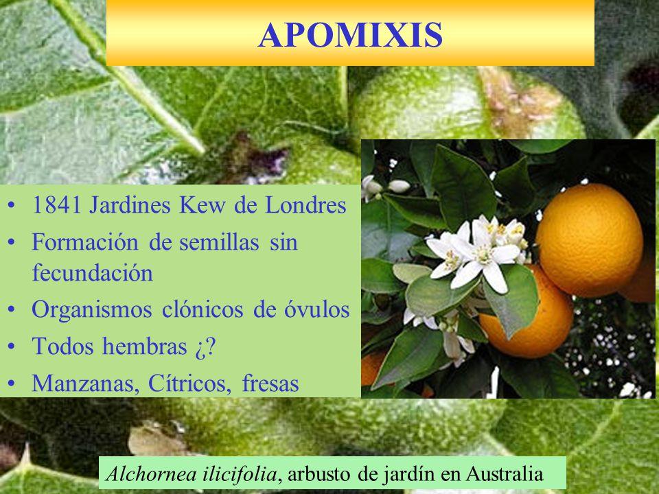 1841 Jardines Kew de Londres Formación de semillas sin fecundación Organismos clónicos de óvulos Todos hembras ¿? Manzanas, Cítricos, fresas APOMIXIS