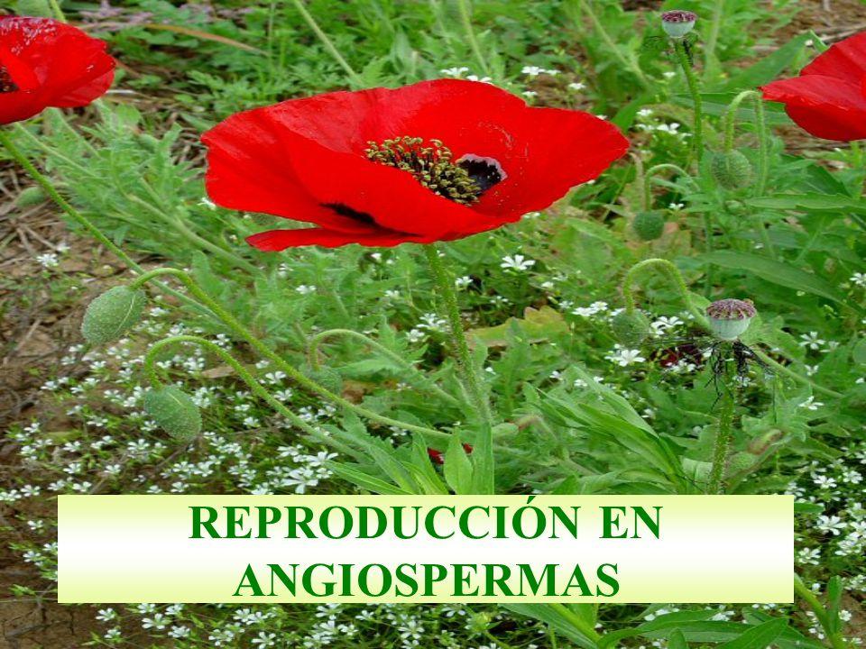 REPRODUCCIÓN EN ANGIOSPERMAS
