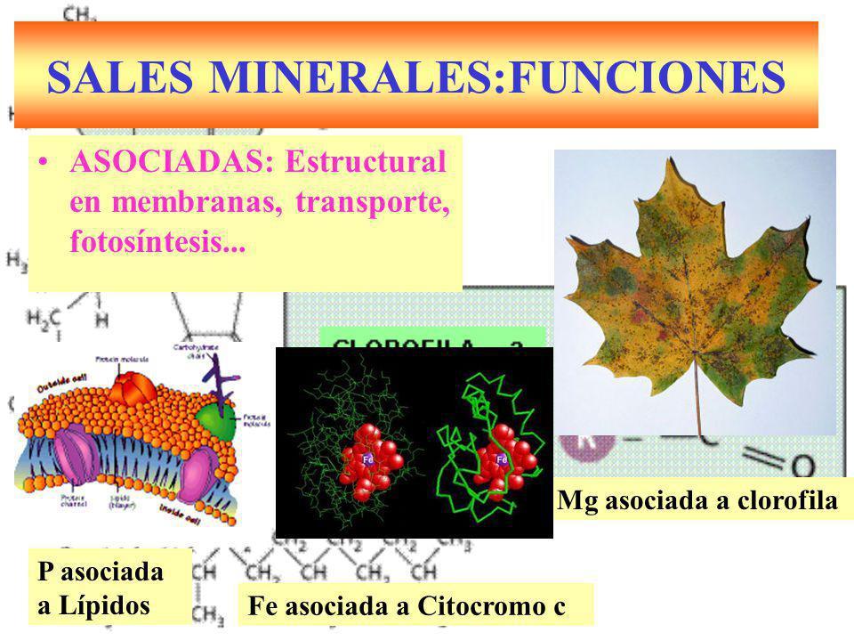 SALES MINERALES:FUNCIONES ASOCIADAS: Estructural en membranas, transporte, fotosíntesis... Mg asociada a clorofila Fe asociada a Citocromo c P asociad