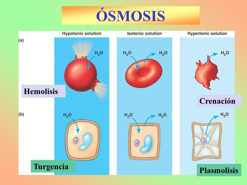 ÓSMOSIS Hemolisis Plasmolisis Turgencia Crenación