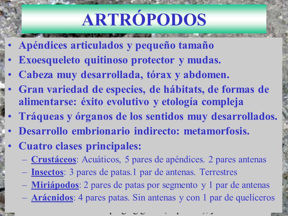 FILO CORDADOS Notocorda: Varilla cartilaginosa.Esquelética.