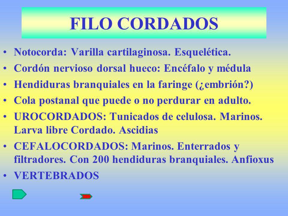 FILO CORDADOS Notocorda: Varilla cartilaginosa. Esquelética. Cordón nervioso dorsal hueco: Encéfalo y médula Hendiduras branquiales en la faringe (¿em