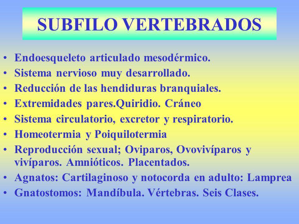SUBFILO VERTEBRADOS Endoesqueleto articulado mesodérmico. Sistema nervioso muy desarrollado. Reducción de las hendiduras branquiales. Extremidades par