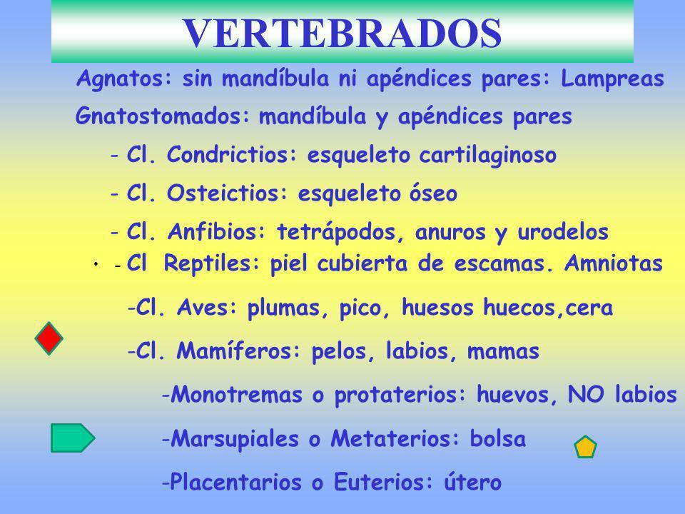 - Cl Reptiles: piel cubierta de escamas. Amniotas -Cl. Aves: plumas, pico, huesos huecos,cera -Cl. Mamíferos: pelos, labios, mamas -Monotremas o prota