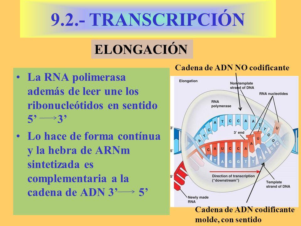 La RNA polimerasa además de leer une los ribonucleótidos en sentido 5 3 Lo hace de forma contínua y la hebra de ARNm sintetizada es complementaria a l