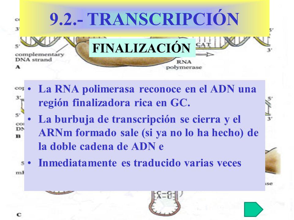 La RNA polimerasa reconoce en el ADN una región finalizadora rica en GC. La burbuja de transcripción se cierra y el ARNm formado sale (si ya no lo ha