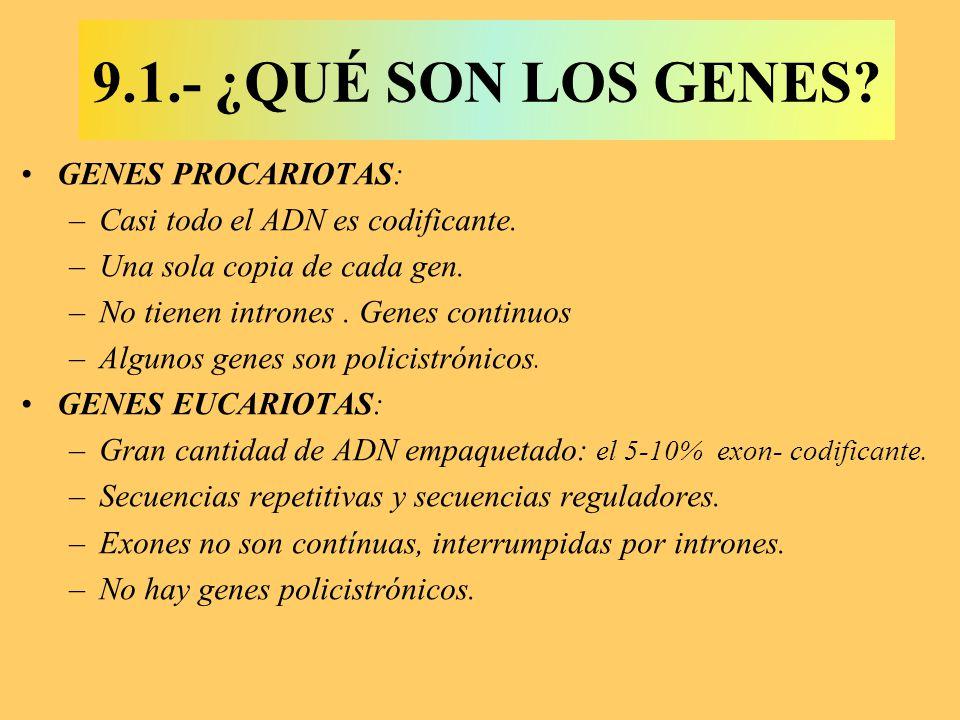 GENES PROCARIOTAS: –Casi todo el ADN es codificante. –Una sola copia de cada gen. –No tienen intrones. Genes continuos –Algunos genes son policistróni