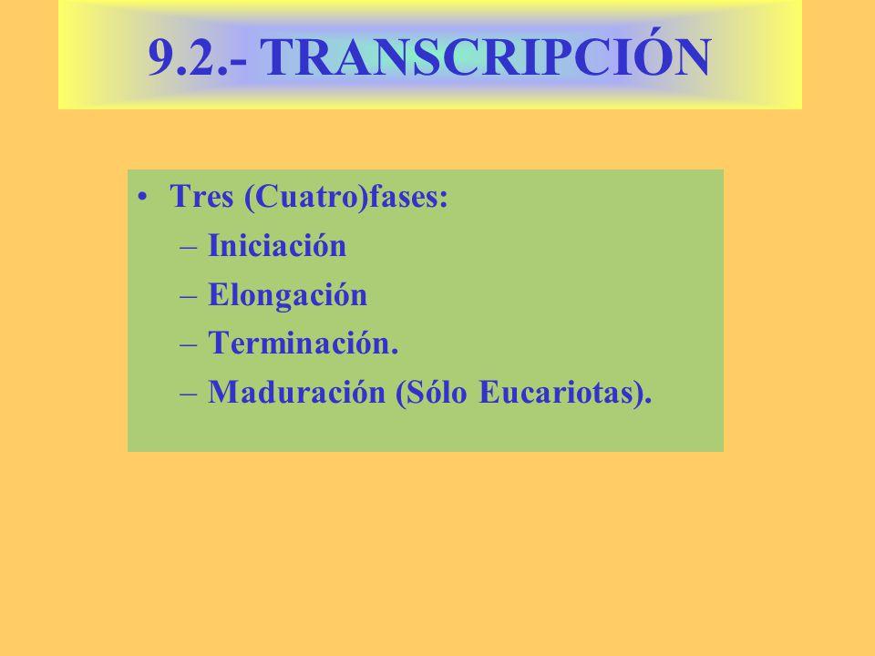 Tres (Cuatro)fases: –Iniciación –Elongación –Terminación. –Maduración (Sólo Eucariotas). 9.2.- TRANSCRIPCIÓN