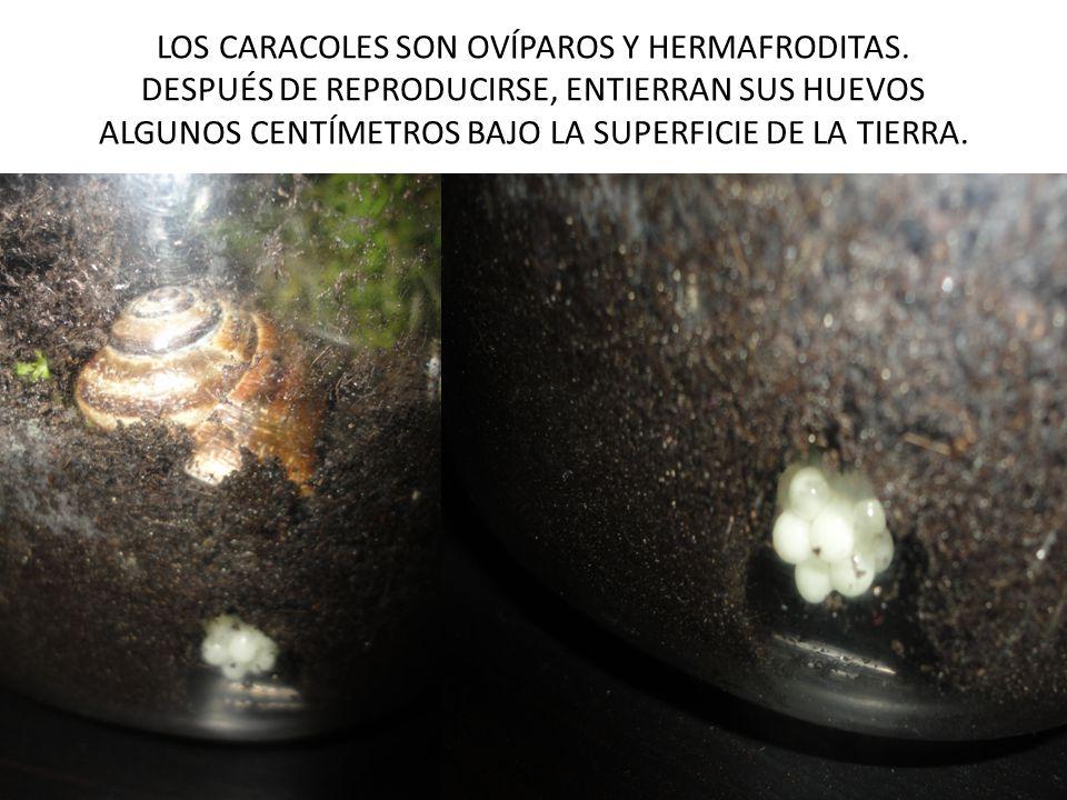 LOS CARACOLES SON OVÍPAROS Y HERMAFRODITAS. DESPUÉS DE REPRODUCIRSE, ENTIERRAN SUS HUEVOS ALGUNOS CENTÍMETROS BAJO LA SUPERFICIE DE LA TIERRA.