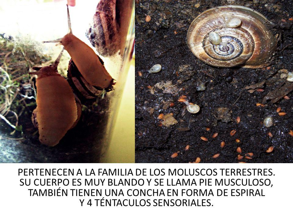PERTENECEN A LA FAMILIA DE LOS MOLUSCOS TERRESTRES. SU CUERPO ES MUY BLANDO Y SE LLAMA PIE MUSCULOSO, TAMBIÉN TIENEN UNA CONCHA EN FORMA DE ESPIRAL Y