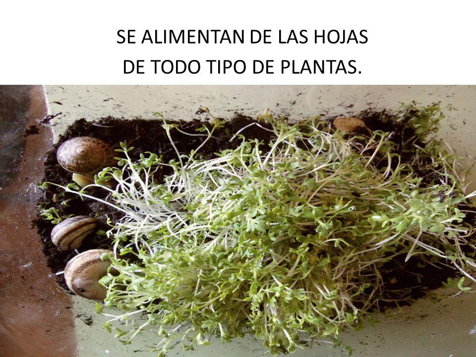 SE ALIMENTAN DE LAS HOJAS DE TODO TIPO DE PLANTAS.