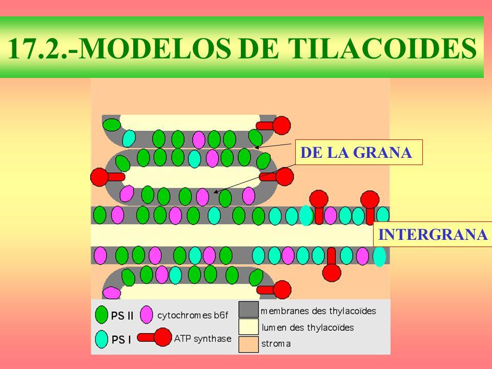 17.2.-MODELOS DE TILACOIDES DE LA GRANA INTERGRANA