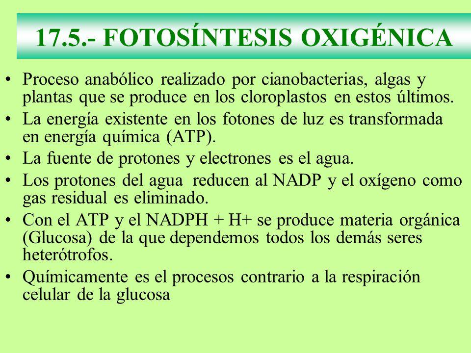 17.5.- FOTOSÍNTESIS OXIGÉNICA Proceso anabólico realizado por cianobacterias, algas y plantas que se produce en los cloroplastos en estos últimos. La