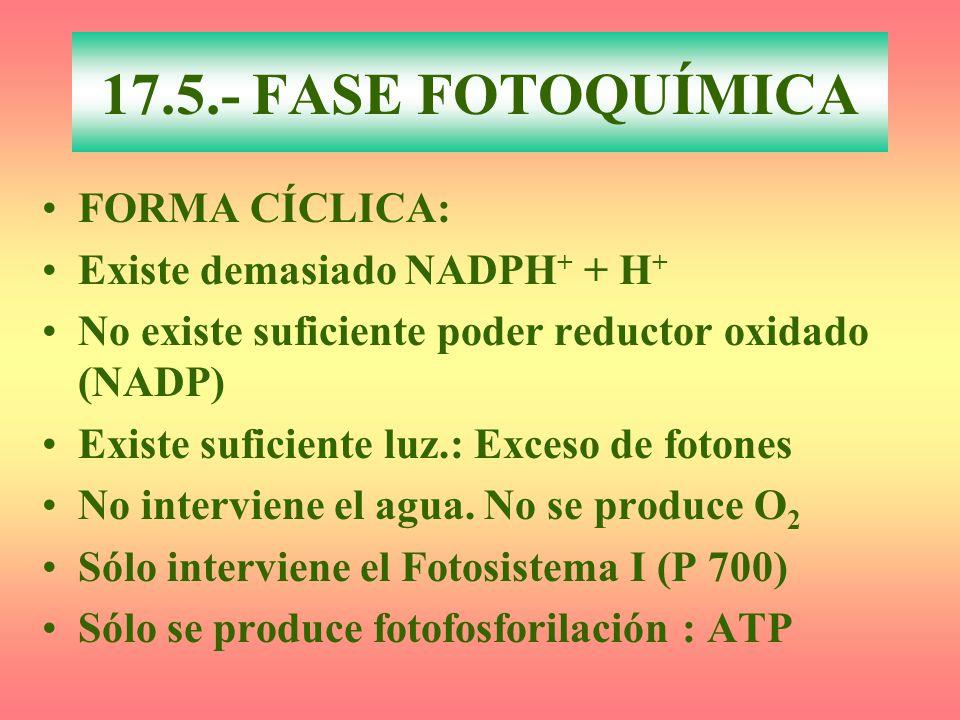 FORMA CÍCLICA: Existe demasiado NADPH + + H + No existe suficiente poder reductor oxidado (NADP) Existe suficiente luz.: Exceso de fotones No intervie