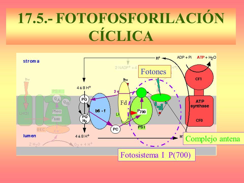 17.5.- FOTOFOSFORILACIÓN CÍCLICA Complejo antena Fotosistema I P(700) Fd Fotones Complejo antena