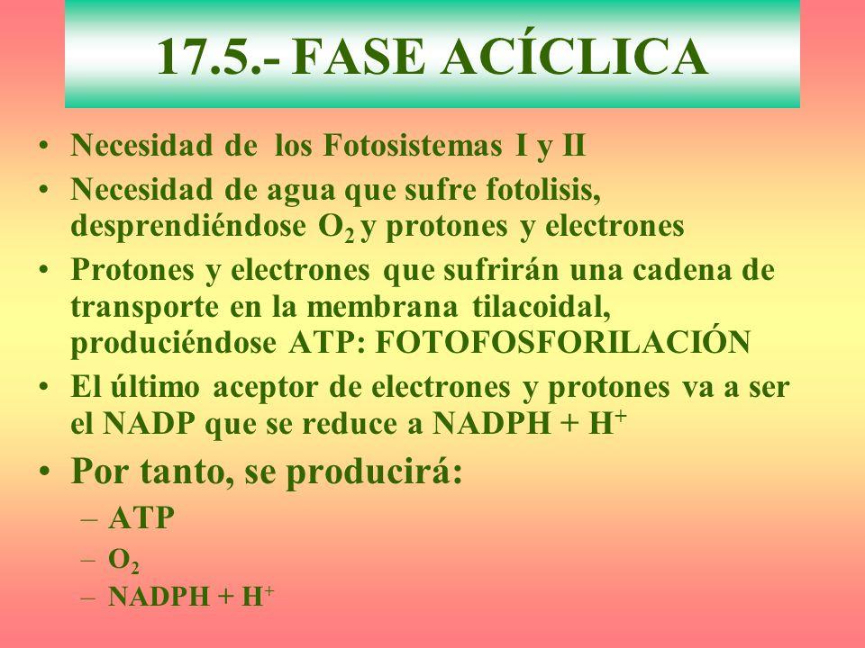 Necesidad de los Fotosistemas I y II Necesidad de agua que sufre fotolisis, desprendiéndose O 2 y protones y electrones Protones y electrones que sufr