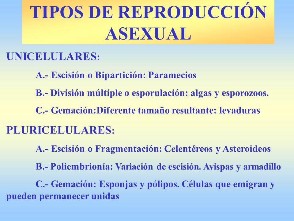 TIPOS DE REPRODUCCIÓN ASEXUAL UNICELULARES : A.- Escisión o Bipartición: Paramecios B.- División múltiple o esporulación: algas y esporozoos. C.- Gema