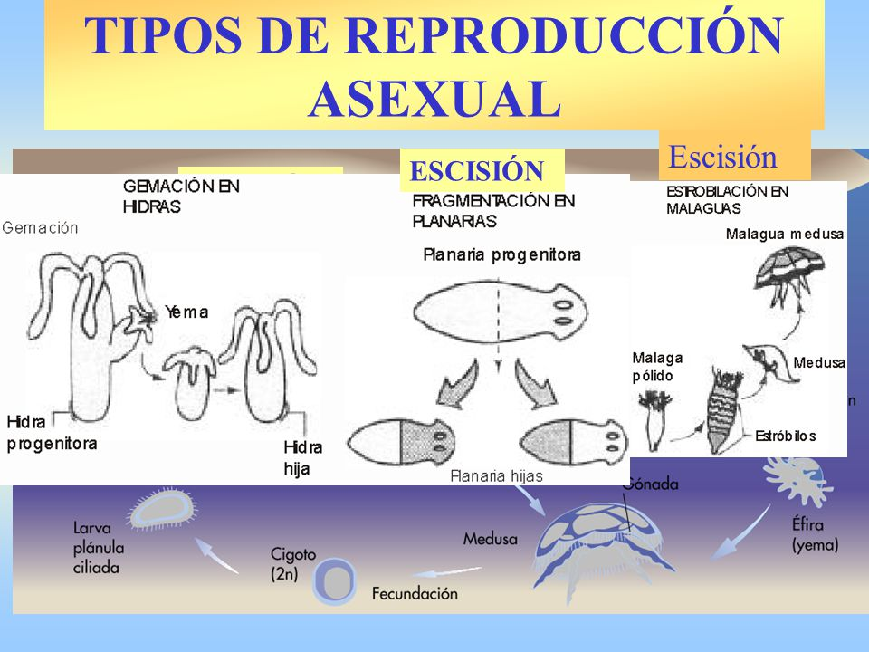 ESCISIÓN Escisión TIPOS DE REPRODUCCIÓN ASEXUAL