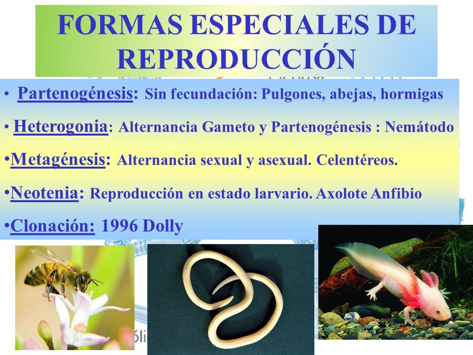 Metagénesis: Alternancia FORMAS ESPECIALES DE REPRODUCCIÓN Partenogénesis: Sin fecundación: Pulgones, abejas, hormigas Heterogonia : Alternancia Gamet