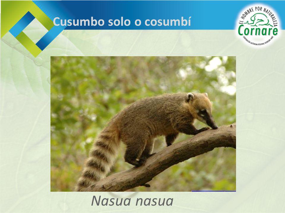 Nasua nasua Cusumbo solo o cosumbí