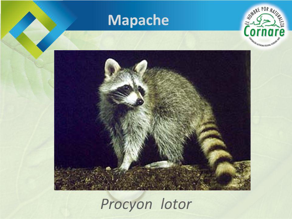 Procyon lotor Mapache