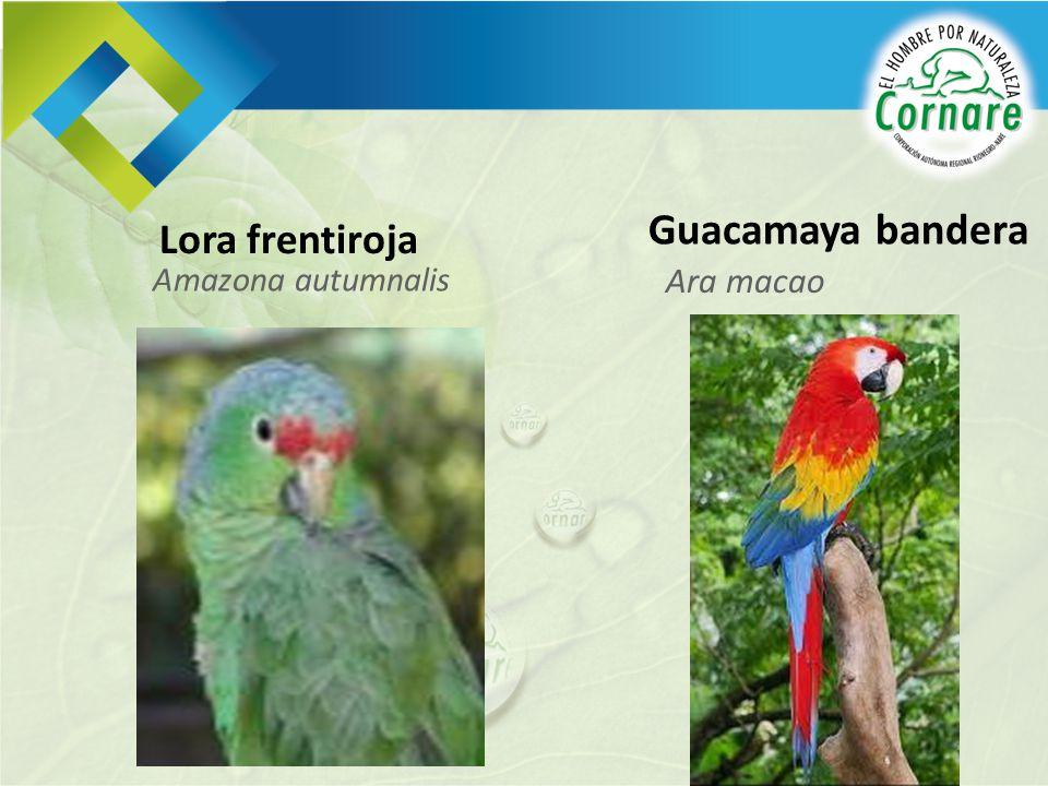 Amazona autumnalis Lora frentiroja Ara macao Guacamaya bandera