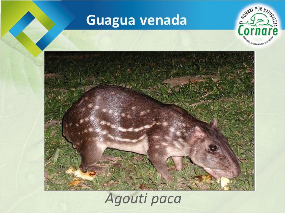Agouti paca Guagua venada