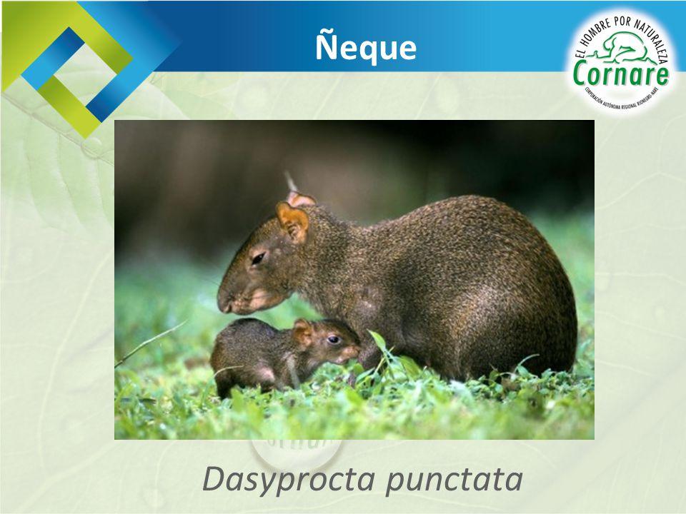 Dasyprocta punctata Ñeque