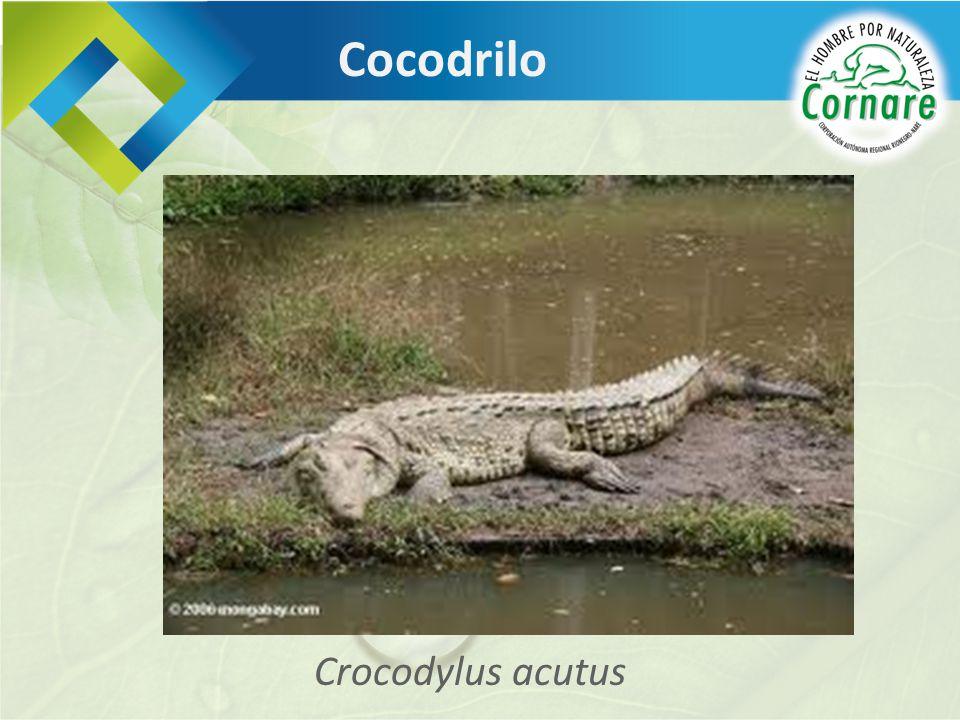 Crocodylus acutus Cocodrilo